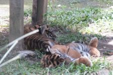 Sepasang Harimau Ditukar Tiga Singa Afrika - JPNN.com