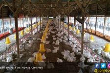 Ada Pemberitaan soal Harga Ayam Rp 770 ribu per Ekor, Ini Penjelasan Dirjen PKH - JPNN.com