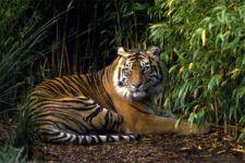 Beredar Kabar Ada 3 Harimau Berkeliaran di Kampung Bekalar - JPNN.com