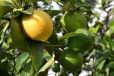 Ketahuilah, Ini Manfaat Lemon Myrtle Bagi Kesehatan - JPNN.com