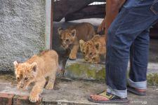 Dua Pelaku Penyelundupan Bayi Singa, Leopard dan Kura-kura Ditangkap Polisi - JPNN.com