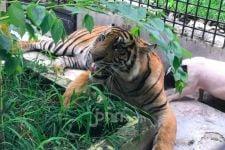 Kisah Harimau Sumatera yang Lelah dengan Konflik dan Babi Hidup yang Terabaikan - JPNN.com