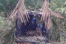 Harimau Sumatra yang Meneror Warga Subulussalam Akhirnya Masuk Perangkap - JPNN.com
