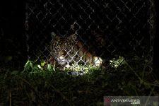 Awas! 2 Harimau Lepas, Saat Malam Kian Ganas - JPNN.com