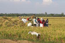 Masa Panen Tiba, Kementan Berharap Pendapatan Petani Makin Terangkat - JPNN.com