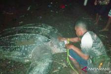 Penyu Raksasa Ini Muncul di Pantai Raja Ampat, Lihat - JPNN.com