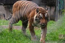 Harimau Sumatera Teror Warga Siak - JPNN.com