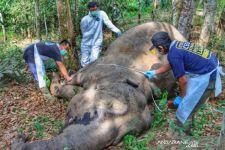 BKSDA Riau Menemukan Gajah Betina Mati di Kebun Warga - JPNN.com