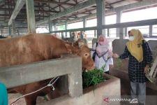Lihat Penampakan Sapi Kurban Pak Jokowi di Riau, Sebegini Harganya - JPNN.com