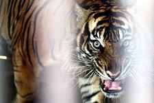 Dipercaya Piaraan Raja, Harimau Sumatra Dimakamkan Secara Adat - JPNN.com