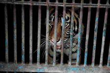 Dua Harimau Sumatra di Ragunan Sempat Terpapar Covid-19, Kok Bisa? - JPNN.com