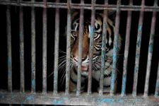 Sempat Terpapar Covid-19, 2 Harimau Sumatera Sudah Bisa Beraktivitas Lagi - JPNN.com