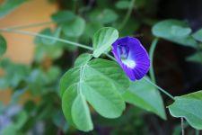 4 Khasiat Luar Biasa Bunga Telang, Ampuh Usir Penyakit Kronis Ini - JPNN.com