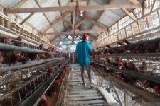 Wacana Bojonegoro Jadi Kawasan Peternak Ayam Ras Petelur - JPNN.com Jatim
