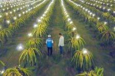 Mengenal Electrifying Agriculture, Program yang Picu Panen Buah Naga Mojokerto Jadi 3 Kali Lipat - JPNN.com Jatim