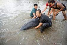 Sebab Paus dan Lumba-lumba Terdampar di Pesisir Tulungagung, BPSPL: Karena Cuaca Buruk - JPNN.com Jatim
