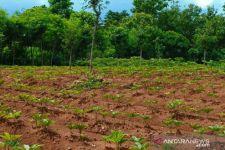 Petani Sampang akan Dibina Tim Khusus untuk Menanam Porang - JPNN.com Jatim