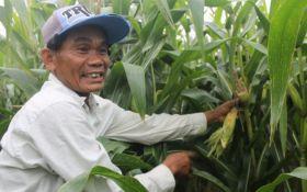 Tanaman Jagung di Tulungagung Diserang Hama Tikus, Petani Banyak yang Rugi - JPNN.com Jatim