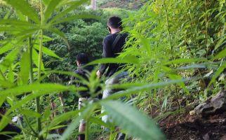Polisi Temukan Ladang Ganja di Area Bukit Barisan Empat Lawang - JPNN.com