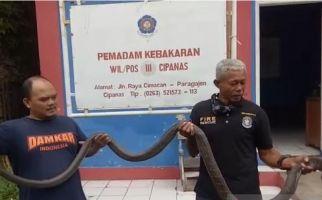Petugas Damkar Tangkap King Kobra Sepanjang 3,5 Meter, Begini Penampakannya - JPNN.com