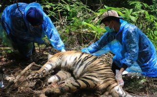 3 Harimau Mati Terjerat, Bupati Aceh Selatan Minta Aparat Mengusut Tuntas - JPNN.com