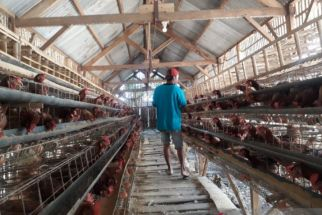 Tak Ada Pilihan Lagi, Peternak Ayam Petelur Lakukan Afkir Dini, Miris! - JPNN.com Jatim